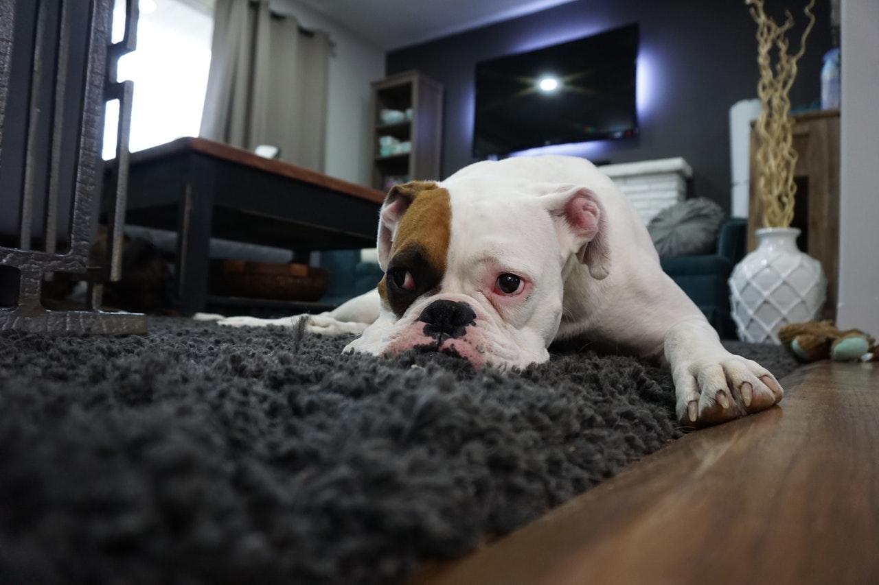 ラグに横たわる犬